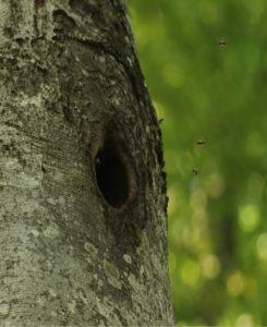 wild lebende Honigbienenvölker