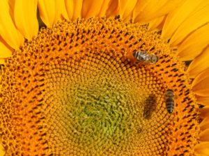 honigernte 2018 sonnenblume mit bienen
