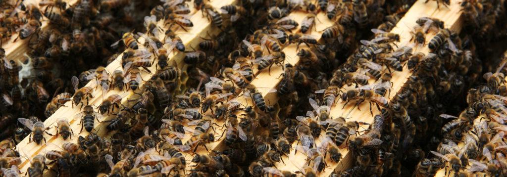 Bienenpflege August für gesunde Winterbienen