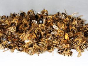 Tote Bienen. Wie hoch waren ihre Winterverluste?