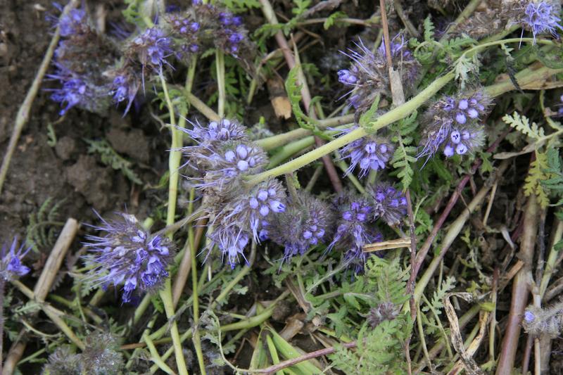 Bienenweide im Juni: Büschelschön