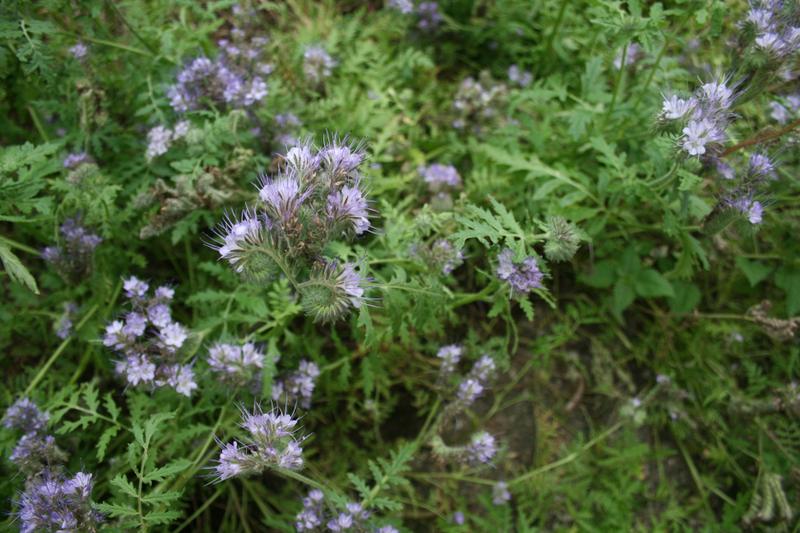 Bienenweide im September: Büschelschön