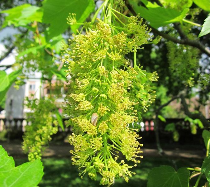 Bienenweide im Mai: Bergahorn