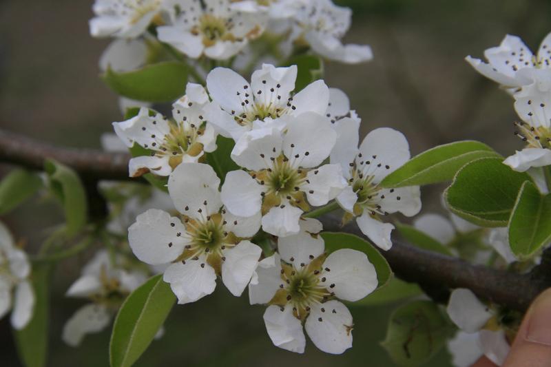 Bienenweide im Mai: Birne