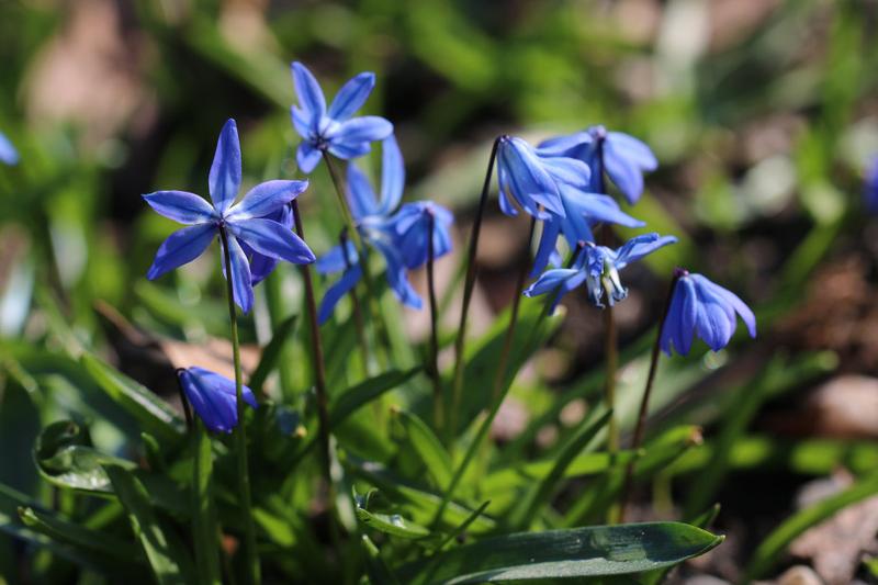Bienenweide im März: Blaustern