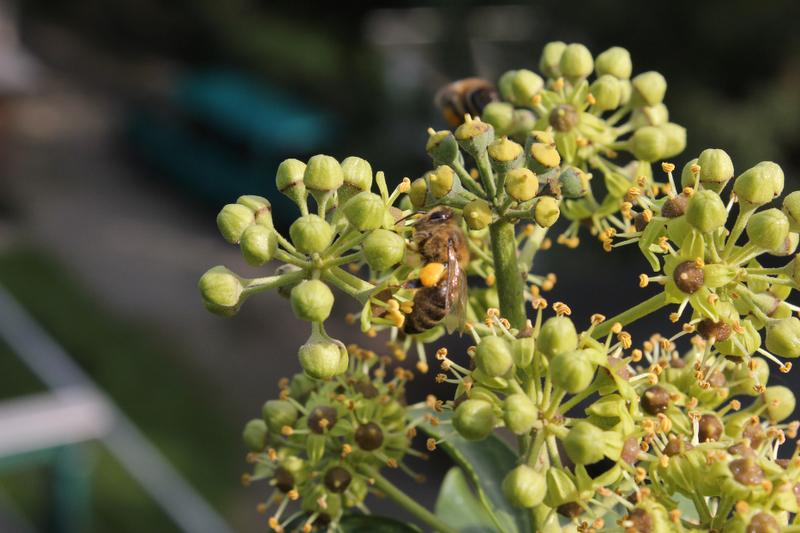 Bienenweide im September: Efeu