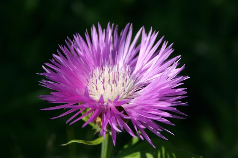 Bienenweide im Juni: Flockenblume