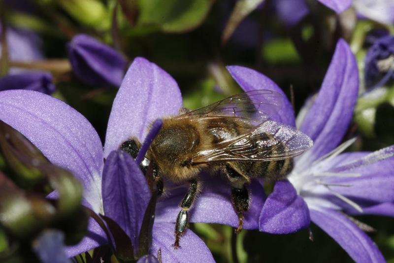 Bienenweide im Juni: Glockenblume