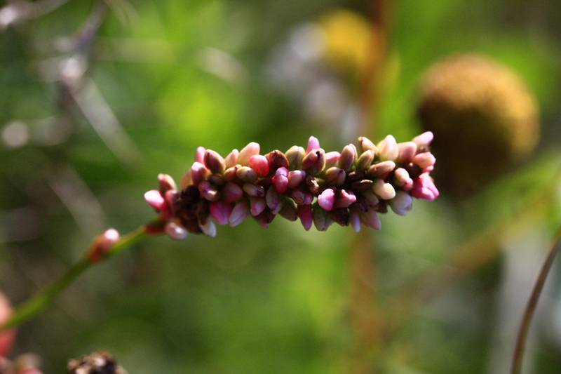 Bienenweide im Mai: Knöterich