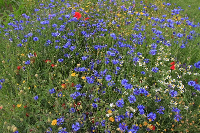 Bienenweide im Juni: Kornblumen
