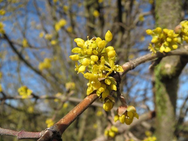 Bienenweide im April: Kornelkirsche