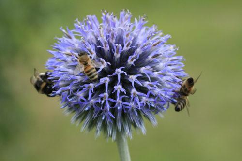 Bienenweide im Juli: Kugeldistel
