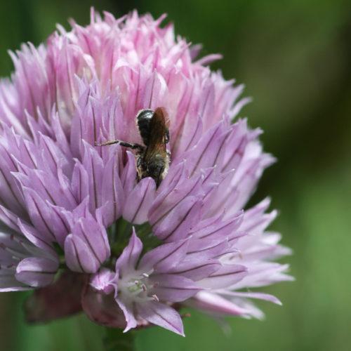 Bienenweide im Mai: Lauch und Zierlauch