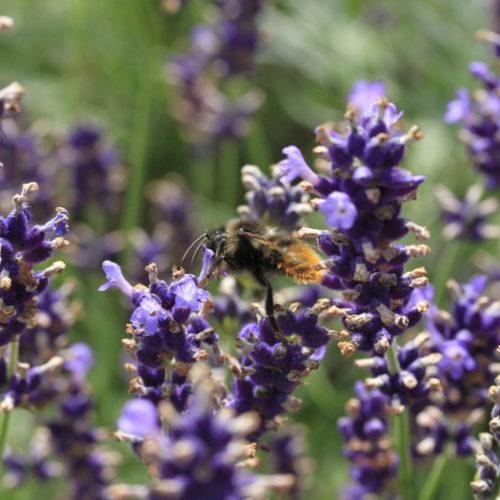 Bienenweide im Juli: Lavendel