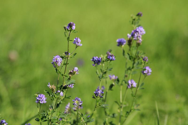 Bienenweide im Juli: Luzerne