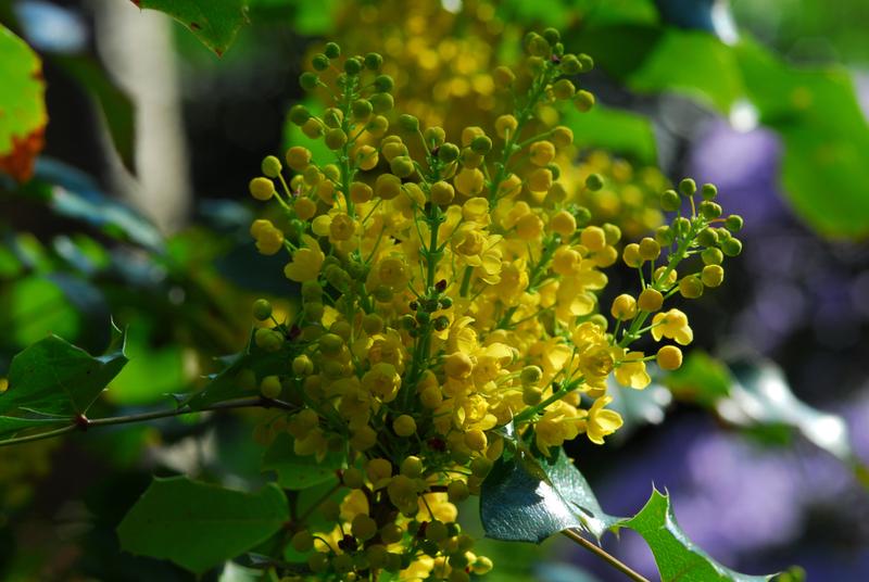 Bienenweide im April: Mahonie