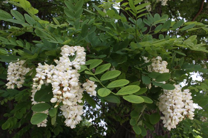 Bienenweide im Juni: Robinie