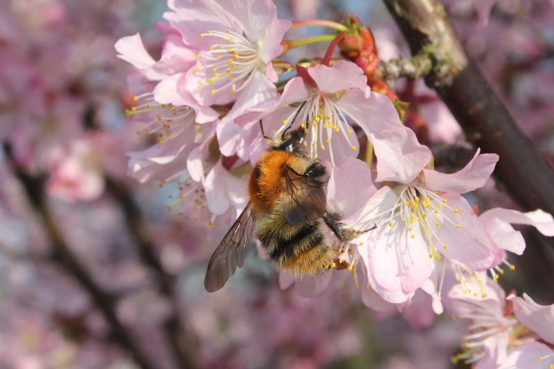 Bienenweide im April: Süß- und Sauerkirsche