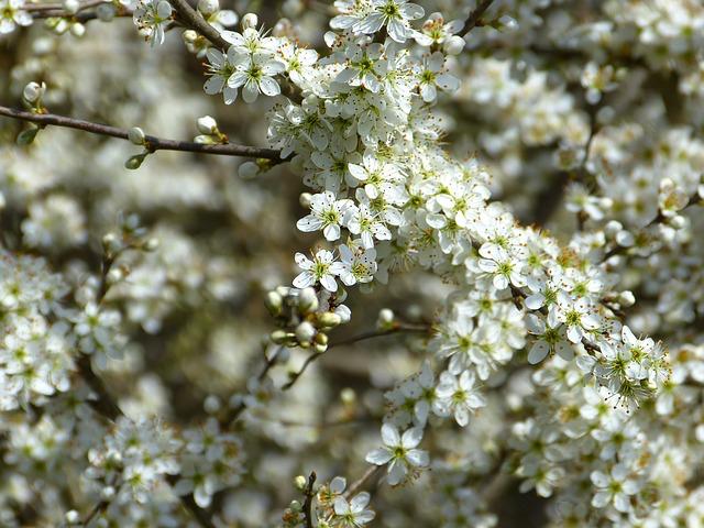 Bienenweide im April: Schlehe