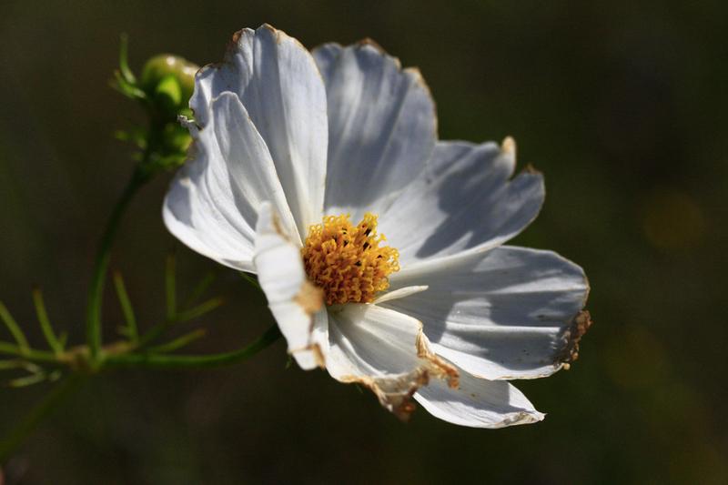 Bienenweide im August: Schmuckkörbchen