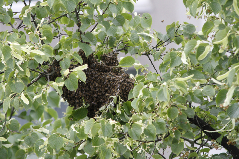 Bienenweide im Juni: Sommer- und Zwischenlinde