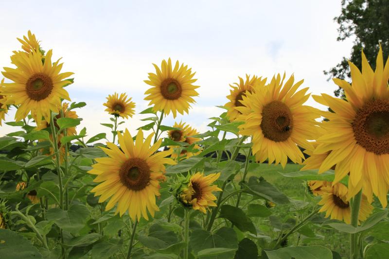 Bienenweide im Juli: Sonnenblume