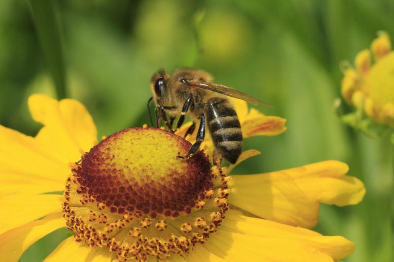 Bienenweide im September: Sonnenbraut