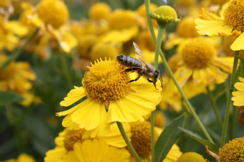 Bienenweide im August: Sonnenbraut