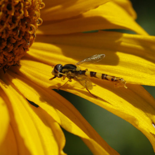 Bienenweide im August: Sonnehut