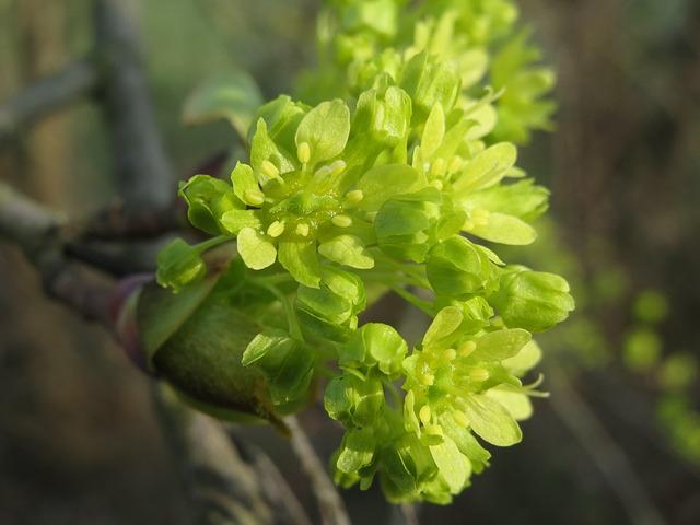 Bienenweide im April: Spitzahorn