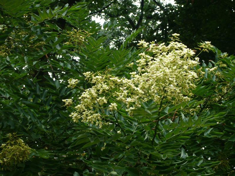 Bienenweide im August: Stinkesche, Bienenbaum, Wohlduftraute