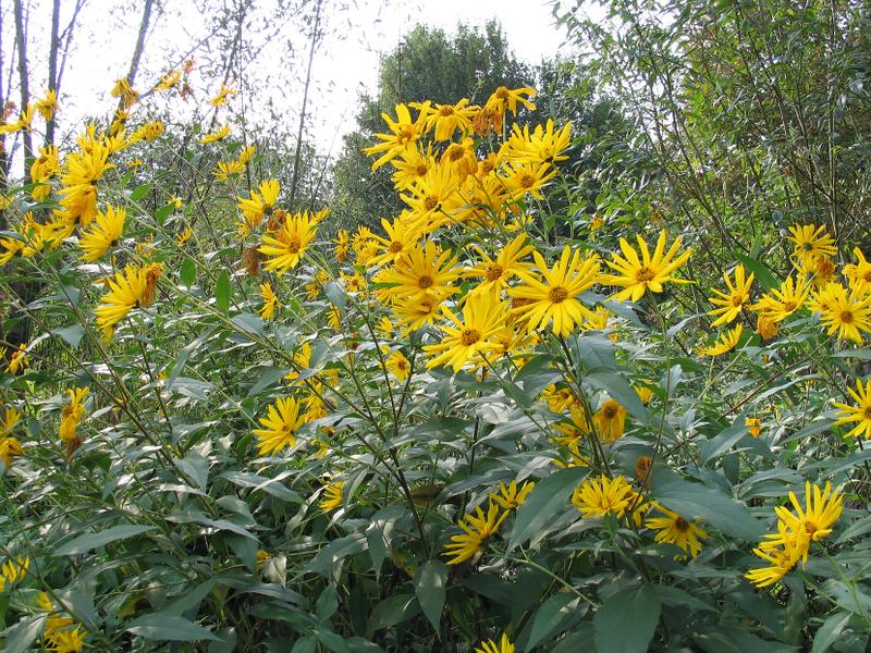 Bienenweide im September: Topinambur