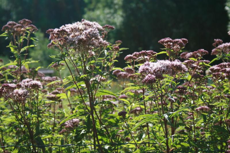 Bienenweide im August: Wasserdost