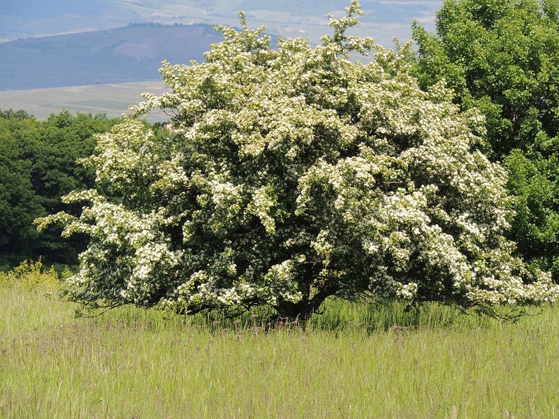 Bienenweide im Mai: Weißdorn