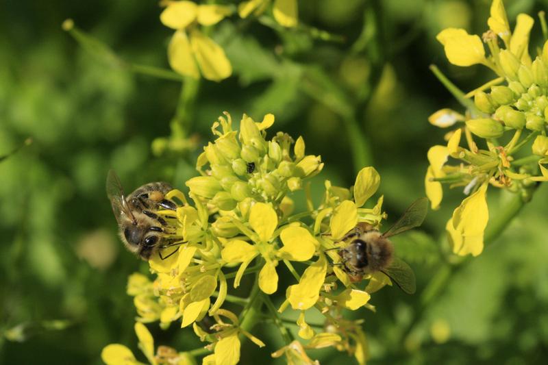 Bienenweide im August: Weißer Senf