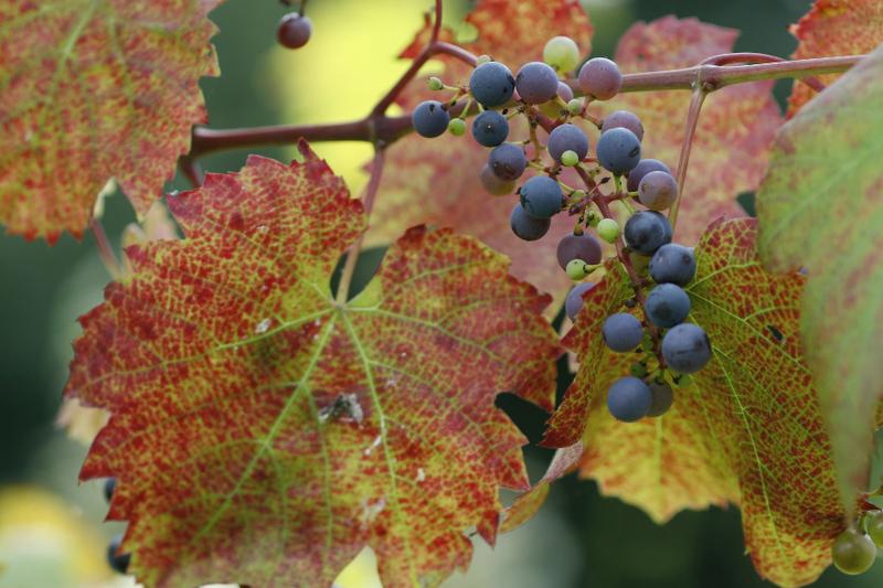 Bienenweide im August: Wilder Wein