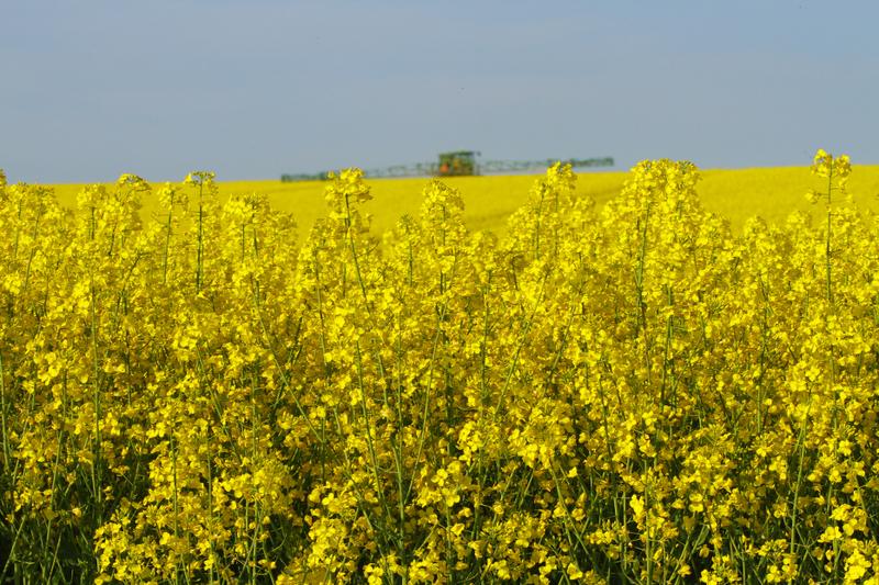 Bienenweide im Mai: Winter- und Sommerraps