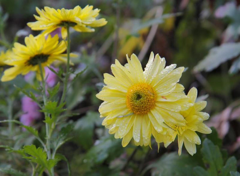 Bienenweide im September: Wucherblume