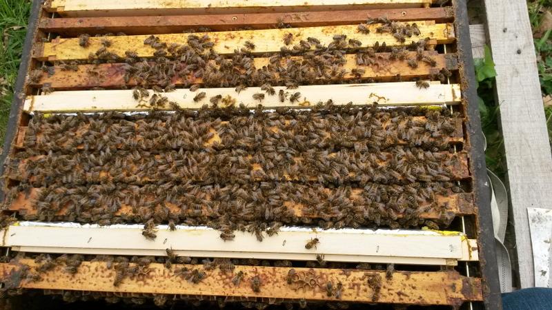 Die Bienen sitzen sehr eng geschiedet auf 3 Dadant Waben.