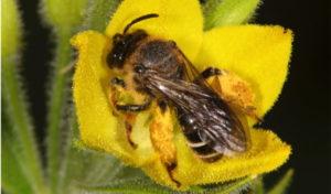 Die Auen-Schenkelbiene ist die Wildbiene des Jahres 2020.