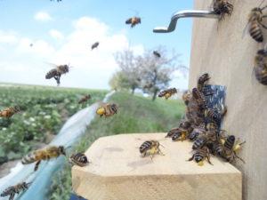 Bienen tragen Erdbeer-Pollen ein. Foto: Svenja Bänsch
