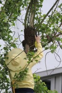 Bienen halten: Bienenschwarm