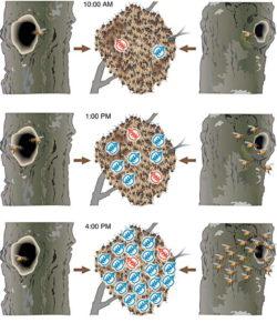Bienen halten ohne Varroabehandlung: Grafik zum Schwärmen von Thomas D. Seeley