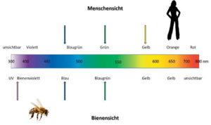 Wie sehen Bienen: Das Farbsehen von Mensch und Bienen im Vergleich.