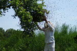 Bienenschwarm und Imker