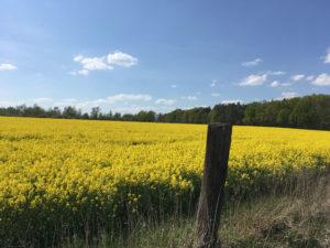 Frühtracht für Bienen unter Druck: Rapsfeld