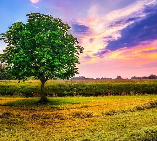 Kastanienbaum auf einem Feld