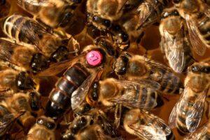 Bienen kaufen. Bienenkönigin