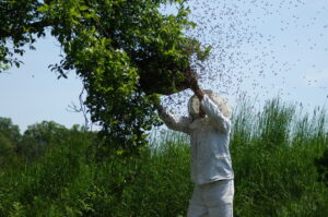 Bienen kaufen. Bienenschwarm.