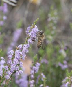 Heideimkerei Biene Nektar Foto: Suzanna Lauterbach